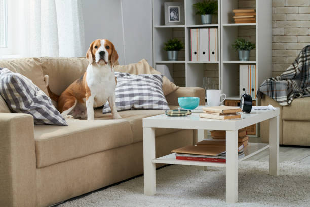 Old Beagle sitting on sofa Calm fat Beagle dog sitting among pillows on old-fashioned comfortable sofa and looking at camera, coffee table and bookshelf in home room dog apartment stock pictures, royalty-free photos & images