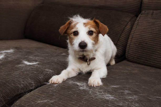 FURRY JACK RUSSELL DOG, SHEDDING HAIR DURING MOLT SEASON PLAYING ON SOFA. FURRY JACK RUSSELL DOG, SHEDDING HAIR DURING MOLT SEASON PLAYING ON SOFA. dog hair stock pictures, royalty-free photos & images
