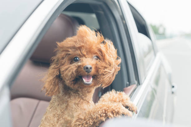 puppy teddy riding in car with head out window puppy teddy riding in car with head out window.Its mouth is open and tongue is hanging out. dogs travel stock pictures, royalty-free photos & images