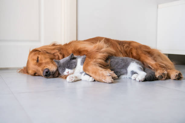 Golden Hound and British short-haired cat Golden Hound and British short-haired cat dog sleeping stock pictures, royalty-free photos & images
