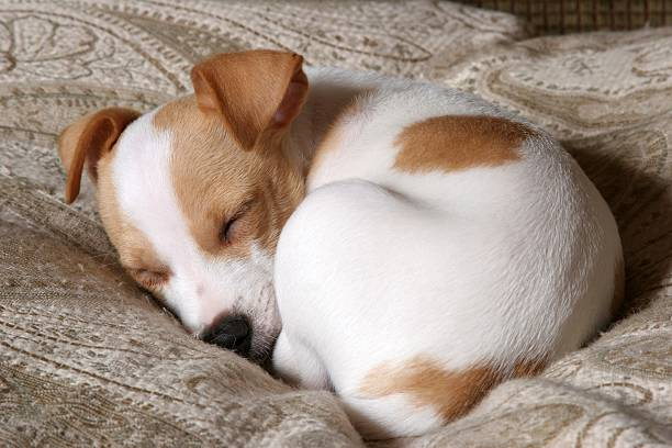 Sweet Dreams  dog sleeping curled stock pictures, royalty-free photos & images