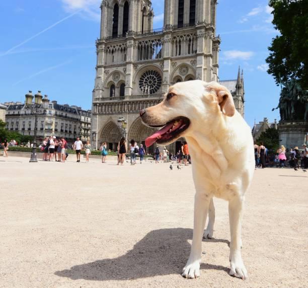 Labrador Retriever A Labrador Retriever at  Notre-Dame Cathedral in Paris, France. dog paris stock pictures, royalty-free photos & images