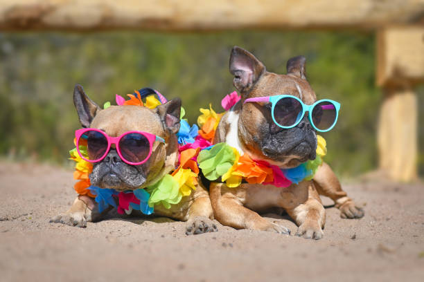 Two brown small French Bulldog dogs sunbathing on sand in summer wearing colorful sunglasses and tropical flower garlands Two cool small fawn colored French Bulldog dogs sunbathing on sand in summer wearing colorful sunglasses and tropical flower lei garlands dog fashion stock pictures, royalty-free photos & images