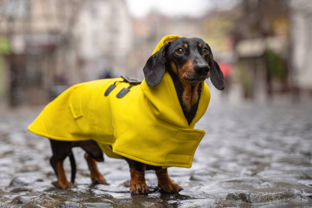 cute dachshund dog, black and tan, dressed in a yellow rain coat stands in a puddle on a city street cute dachshund dog, black and tan, dressed in a yellow rain coat stands in a puddle on a city street dog outfit stock pictures, royalty-free photos & images