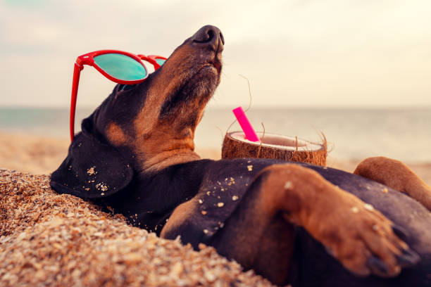 cute dog of dachshund, black and tan, buried in the sand at the beach sea on summer vacation holidays, wearing red sunglasses with coconut cocktail cute dog of dachshund, black and tan, buried in the sand at the beach sea on summer vacation holidays, wearing red sunglasses with coconut cocktail dog sun stock pictures, royalty-free photos & images
