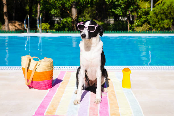 Funny dog on summer vacation at swimming pool Funny cute dog wearing sunglasses on summer vacation at swimming pool. dog sunscreen stock pictures, royalty-free photos & images