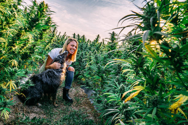 Female Embraces Happy Dog In a Field of Herbal Cannabis Plants at a CBD Oil Hemp Marijuana Farm in Colorado Herbal Cannabis Plants at a CBD Oil Hemp Marijuana Farm in Colorado dog cbd stock pictures, royalty-free photos & images