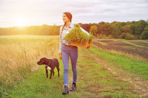 Young woman farmer harvesting fresh hemp buds Young woman farmer harvesting cannabis buds dog cbd stock pictures, royalty-free photos & images