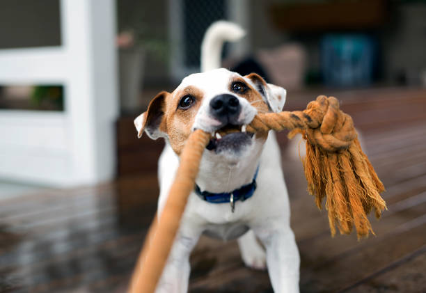 Fox Terrier tugging the rope playing Fox terrier dog tugging the rope playing puppy playing stock pictures, royalty-free photos & images