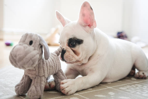 French Bulldog puppy playing with dog toy. French Bulldog puppy playing with her dog toy in the living room, England puppy playing stock pictures, royalty-free photos & images