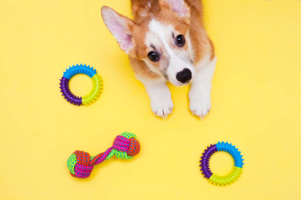 Concept pet care, playing and training Corgi dog, toys, accessories and dry food on the yellow background. Top view. Space for a text. puppy playing stock pictures, royalty-free photos & images