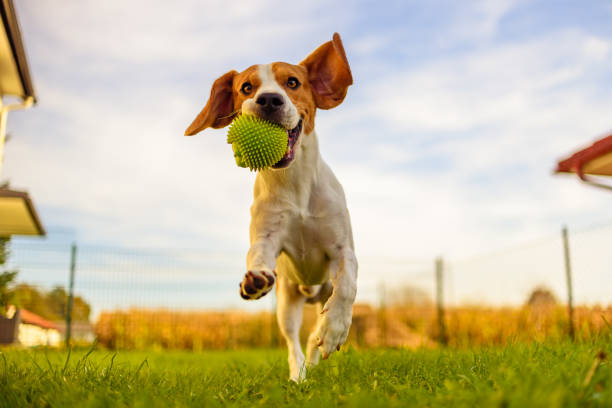 Beagle dog fun in garden outdoors run and jump with ball towards camera Beagle dog fun in garden outdoors run and jump with ball towards camera dog running stock pictures, royalty-free photos & images