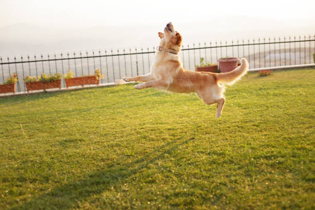 Jumping Golden Retriever Golden retriever dog jumping on green grass dog running stock pictures, royalty-free photos & images
