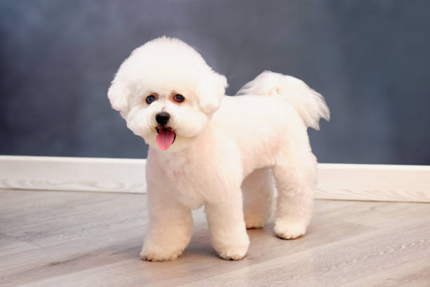 beautiful bichon frise dog with a new stylish hairstyle after grooming beautiful bichon frise dog with a new stylish hairstyle after grooming. bichon stock pictures, royalty-free photos & images