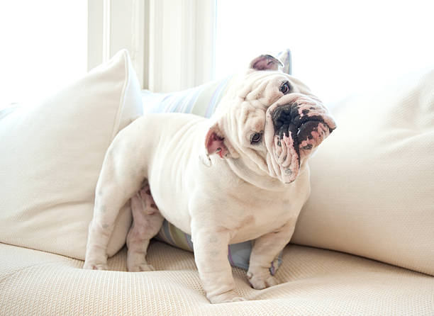 A cute English bulldog on a couch Portrait of English Bulldog on white sofa looking quizzically into camera. english bulldog stock pictures, royalty-free photos & images