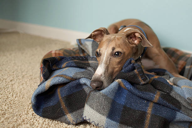 Italian greyhound relaxing on tartan blanket on floor This is a shot of Milo, our italian greyhound, in our living room. grey hound stock pictures, royalty-free photos & images