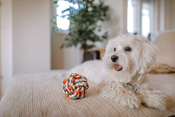 Maltese dog sitting on bed Maltese dog sitting on bed at home maltese dog stock pictures, royalty-free photos & images