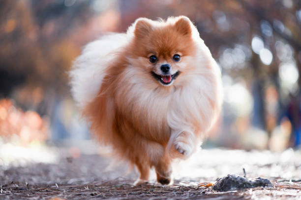 A beautiful dog runs through the bright autumn forest, the Spitz A beautiful dog runs through the bright autumn forest, the Spitz pomeranian stock pictures, royalty-free photos & images