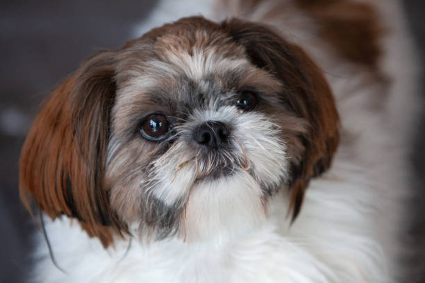 Shi tsu dog One year purebred shi tsu puppy shi tzu stock pictures, royalty-free photos & images