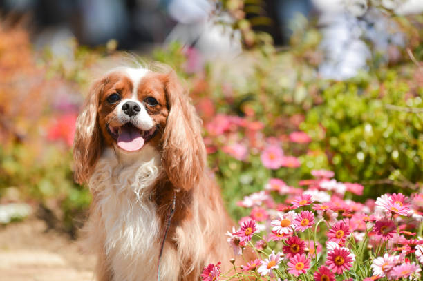 Cavalier King Charles Spaniel in the flower garden Cavalier King Charles Spaniel in the flower garden king charles cavalier spaniel stock pictures, royalty-free photos & images
