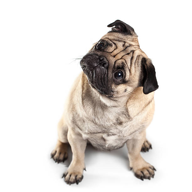 Sitting Pug isolated on White Background. Eyes in focus Sitting Pug isolated on White Background with shadow. Focus on eyes pug stock pictures, royalty-free photos & images