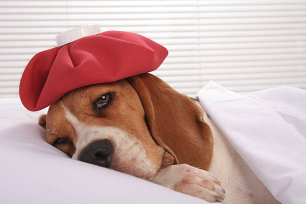 Canine Patient in Hospital Room Cute sick little hound lying in bed with ice pack on her headSome other related images: dog sick stock pictures, royalty-free photos & images