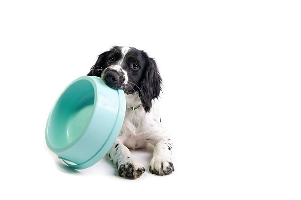 I'm hungry! spaniel puppy holding its food bowl and demanding to be fed (white background) dog dish stock pictures, royalty-free photos & images