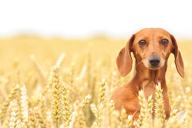 Miniature Dachshund Stare A Miniature Smooth Haired Dachshund with it's head above the wheat crop watching / looking. dog wheat stock pictures, royalty-free photos & images