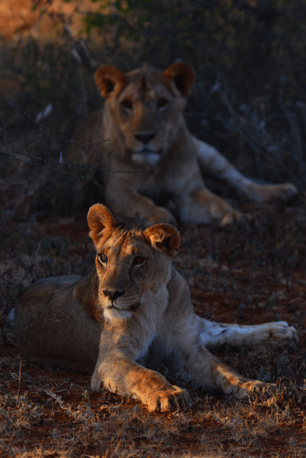 two lions laying down