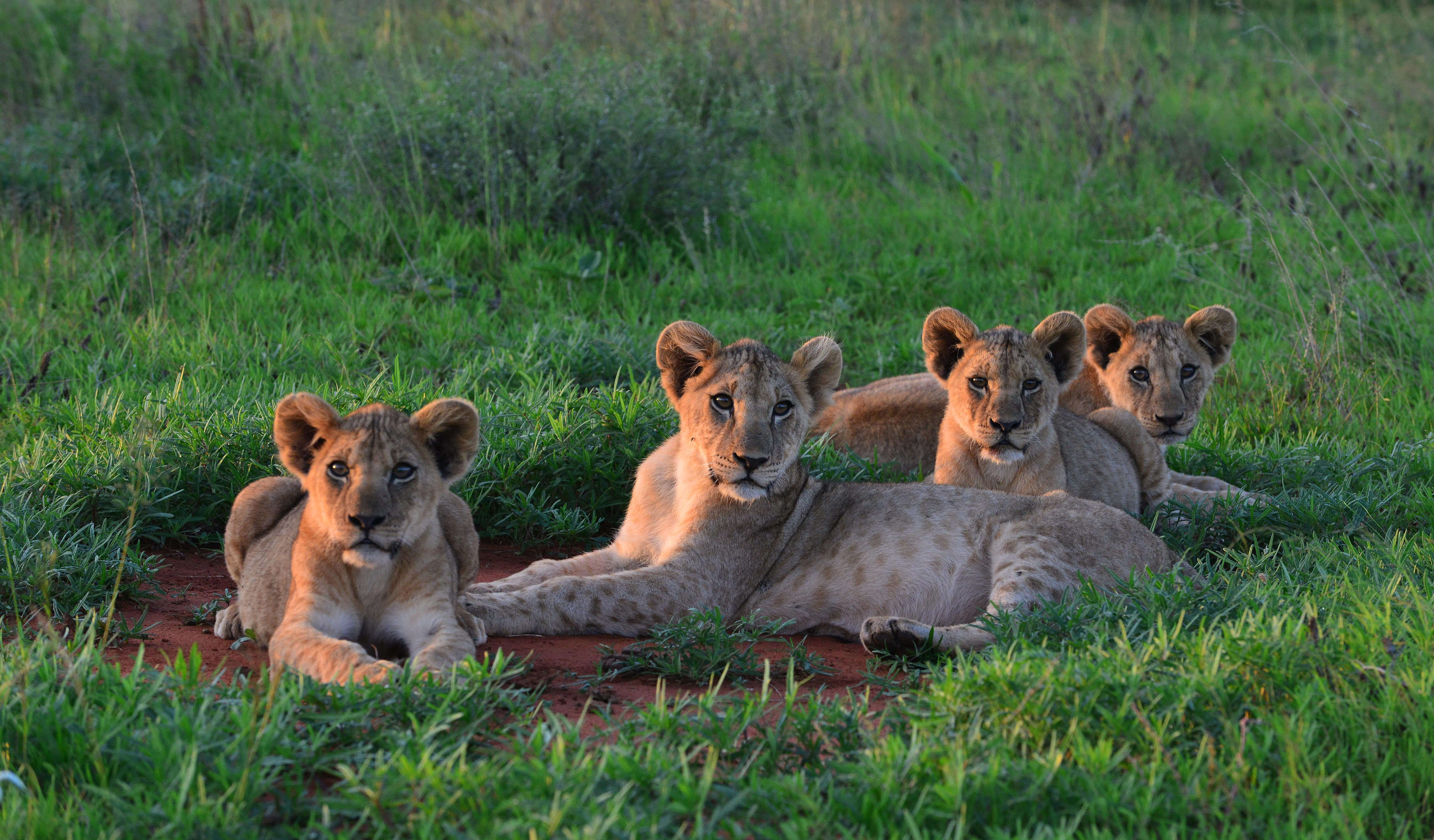 four lions laying on grass