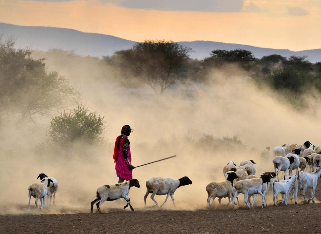 man guiding a lot of sheep