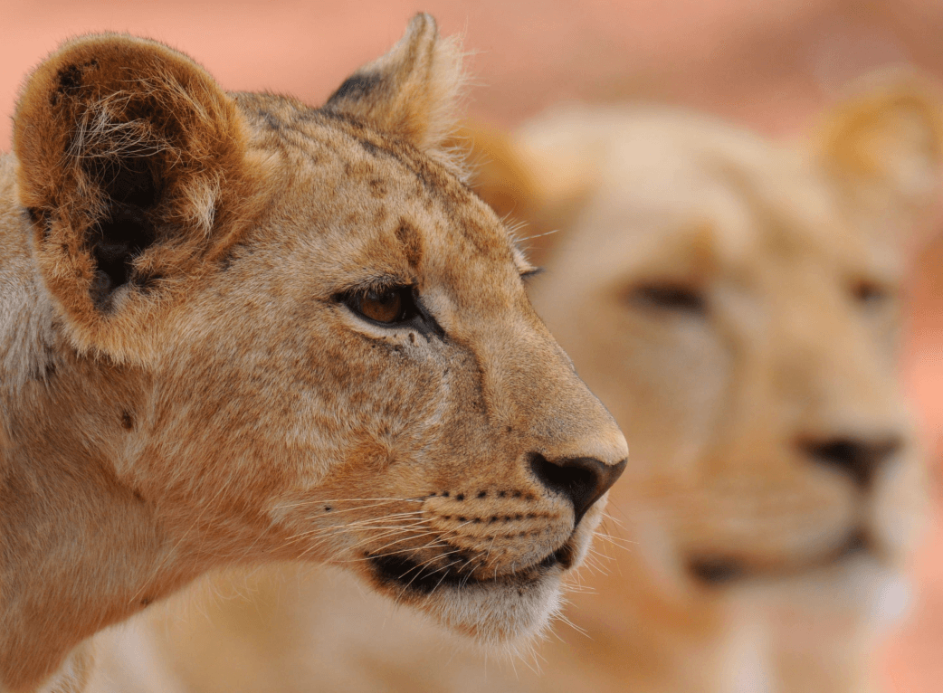 two lions on visible and one blurred out