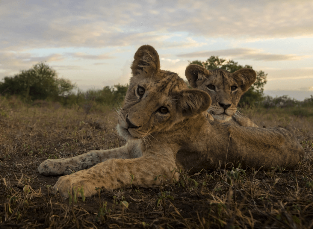 two lion cubs laying down