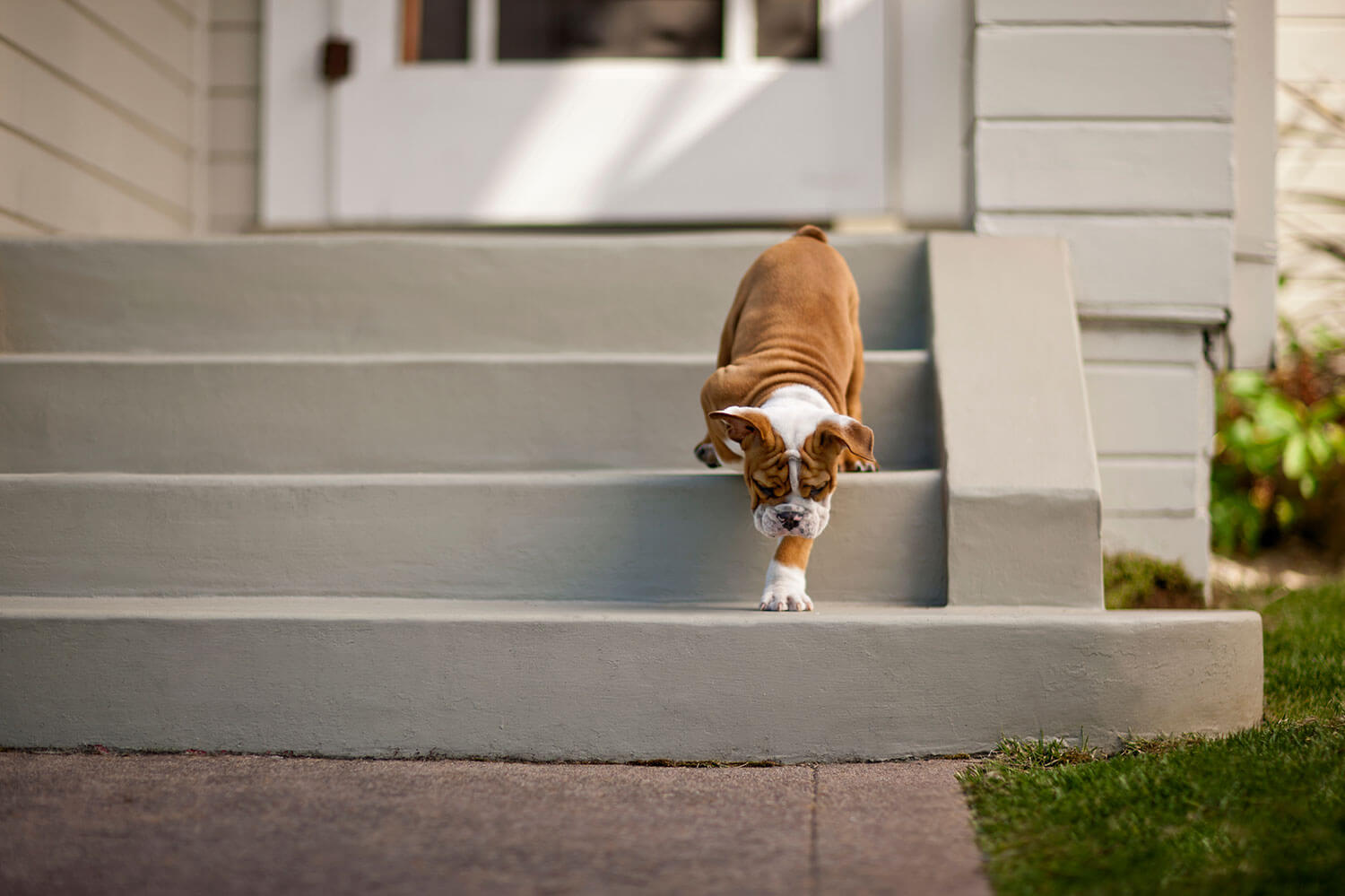 Brown and white dog walking down the front steps of home for sale in MN. Real estate and buyer agents, The Homebuyers in MN.