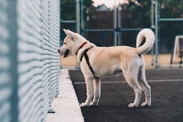 Akita dog watching across fence. Photo by Hermes Rivera on Unsplash.