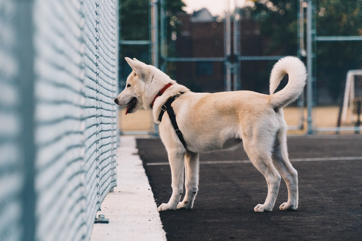 Akita dog watching across fence. Photo by Hermes Rivera on Unsplash.