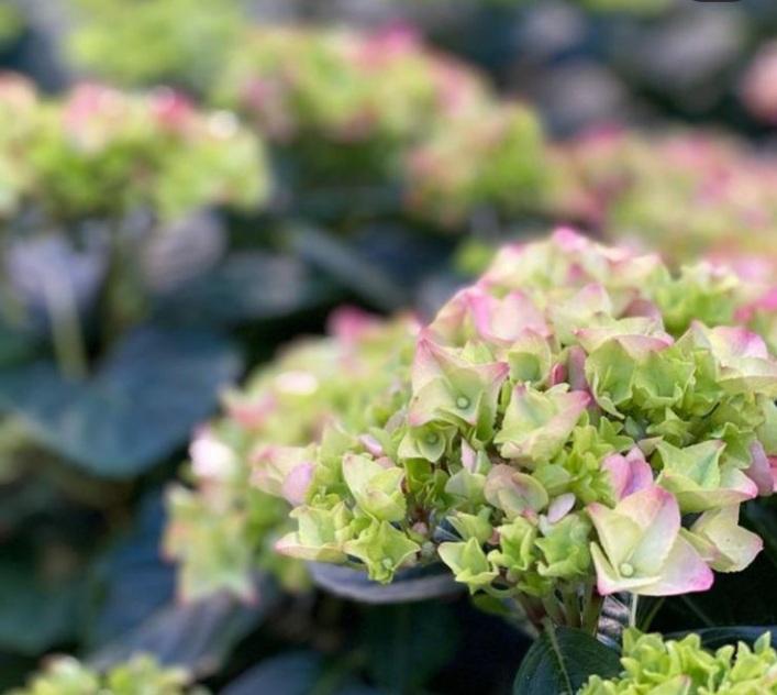 hortensie bloembakken buiten