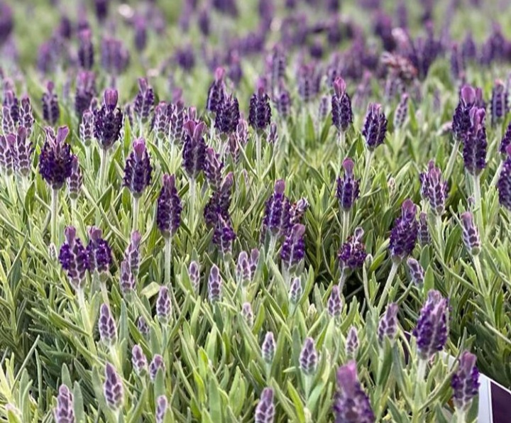 Lavendel in de tuin bloembakken