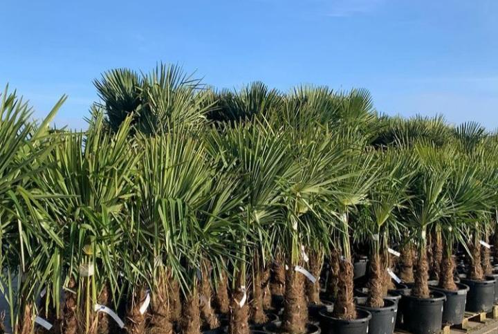 palmboom bloembakken