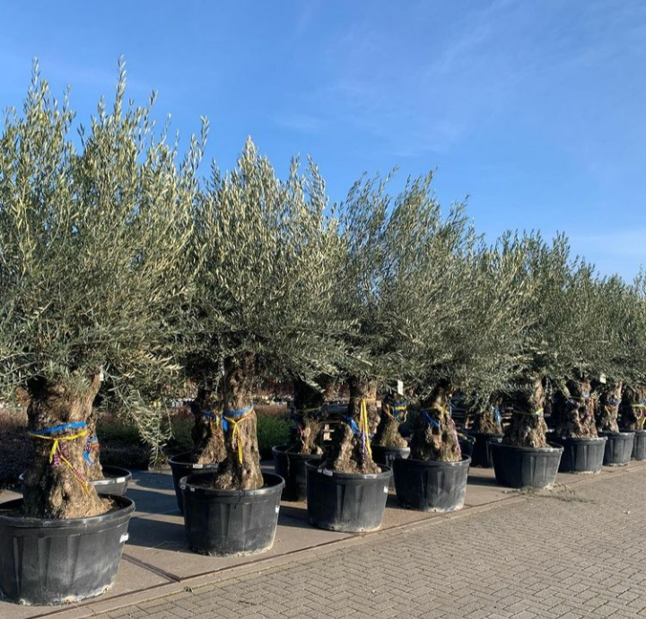 olijfbomen voor in de tuin