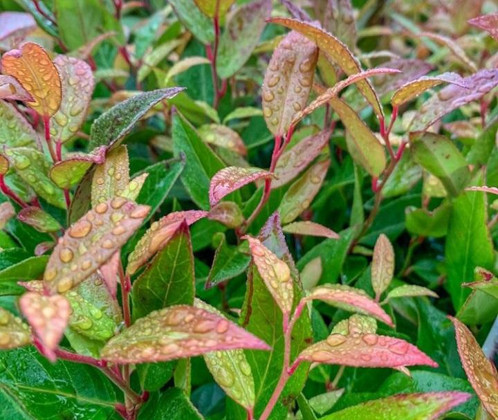 highland doghobble bloeiplant plantenbak