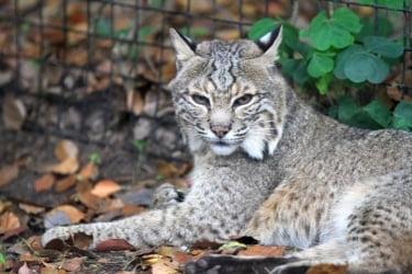Wild bobcat at The OC Zoo