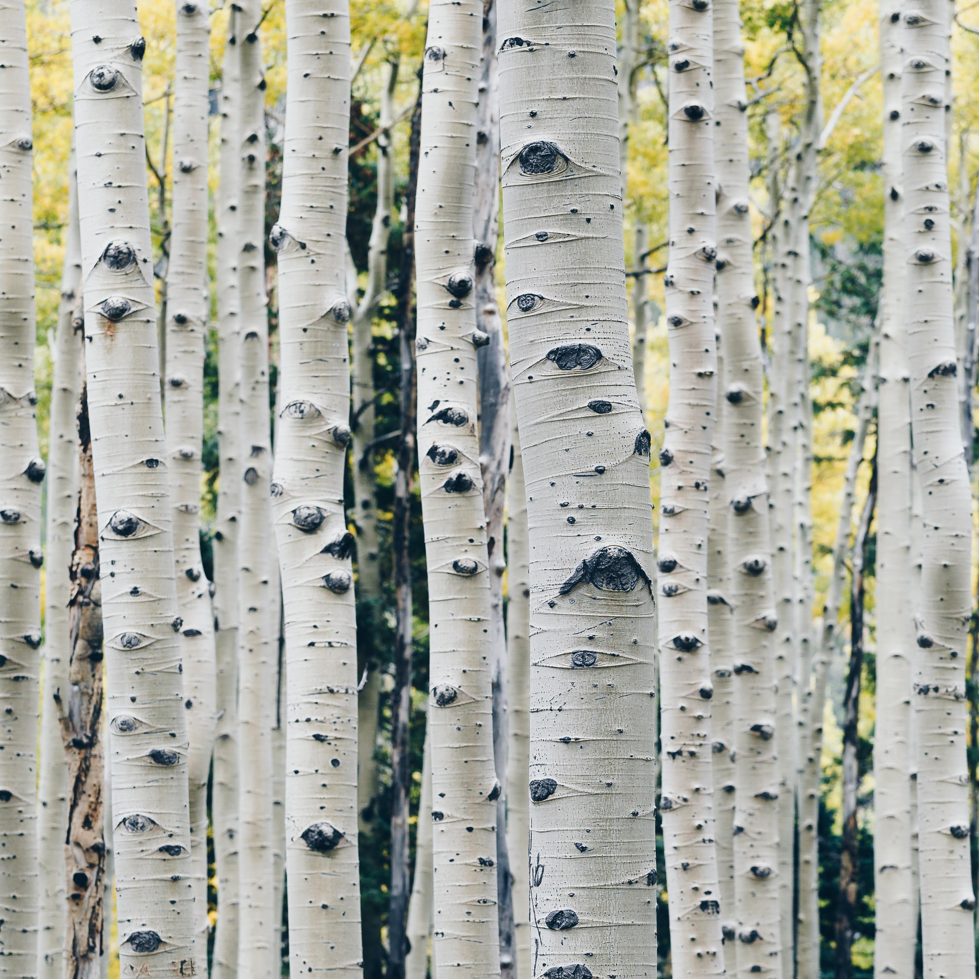 Bark of an Aspen Tree