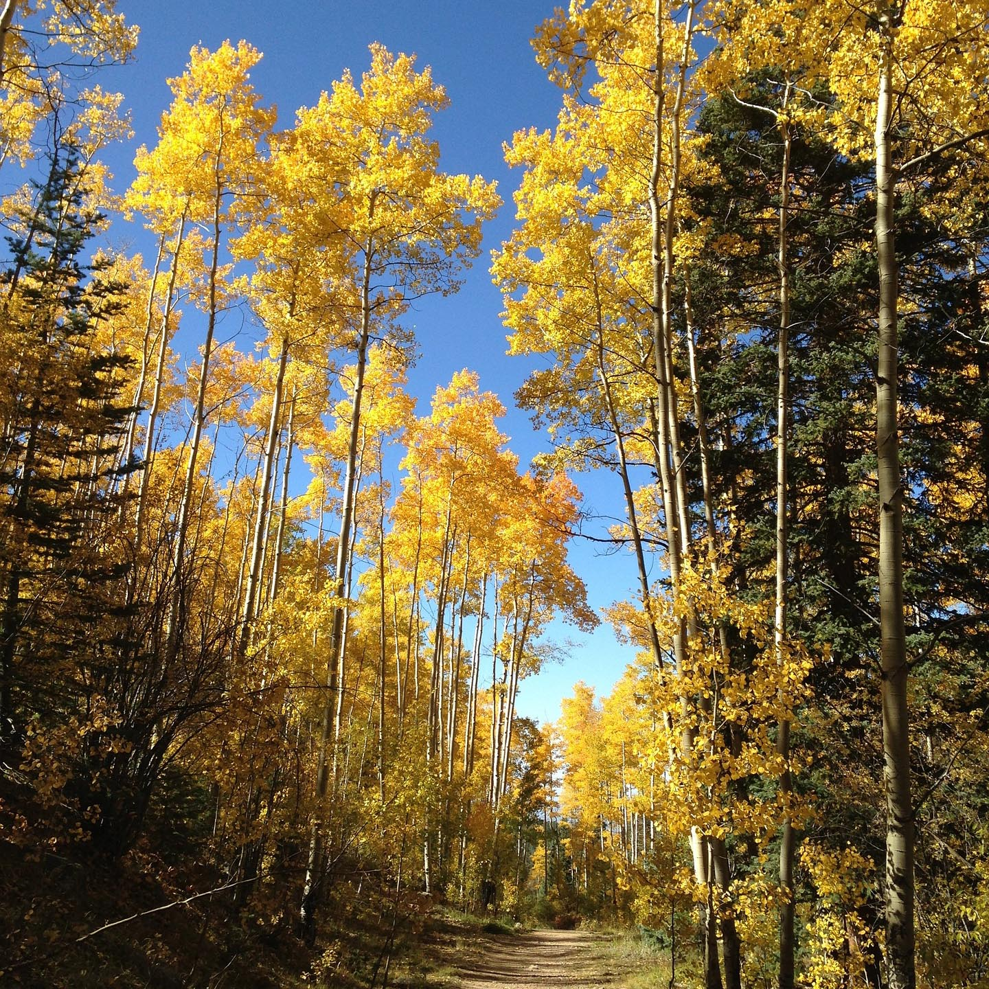 A pathway between Aspen Trees in Fall