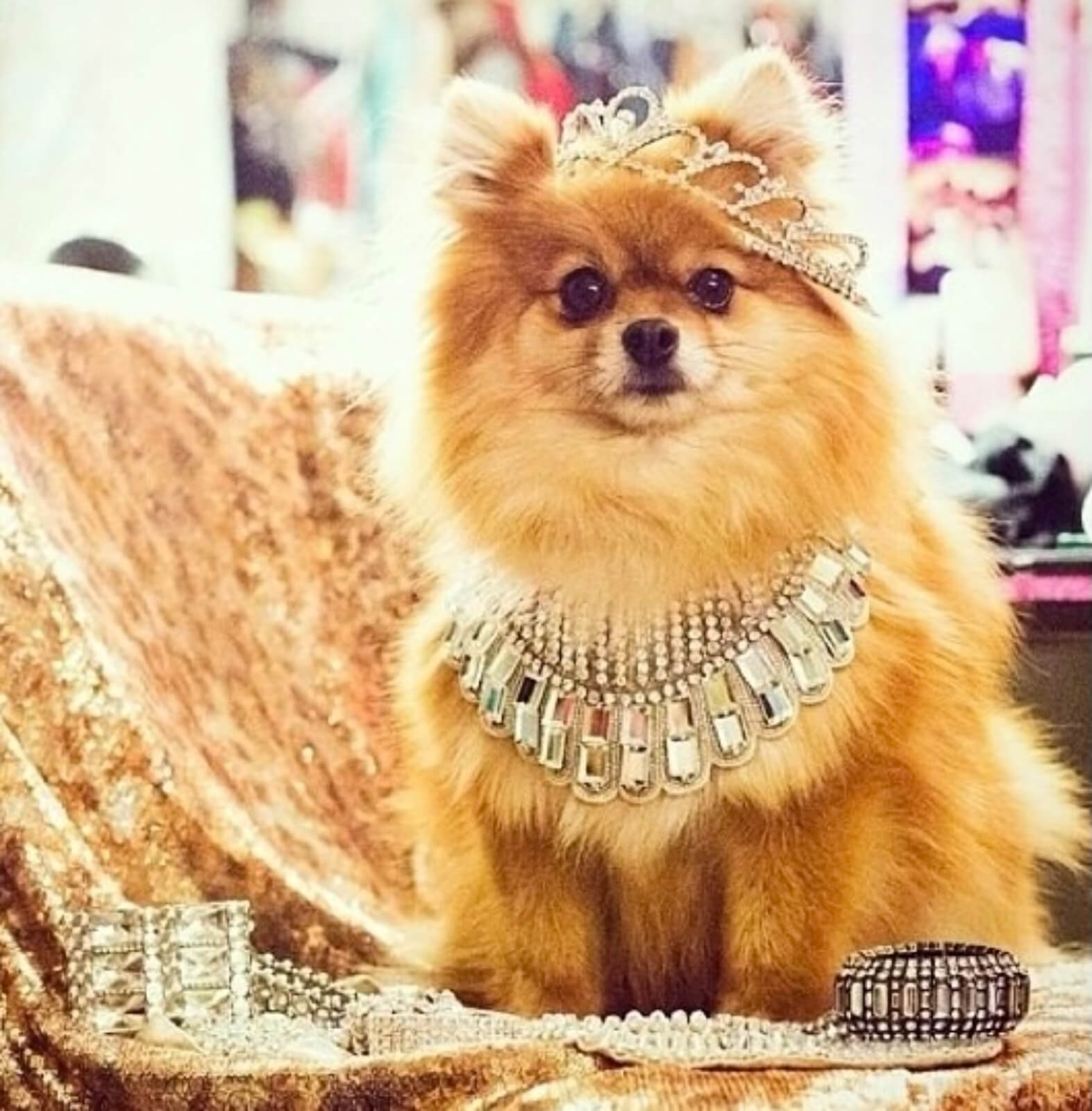 A small Pomeranian dog wearing a crown and large jewel necklace while sitting on golden fabric.