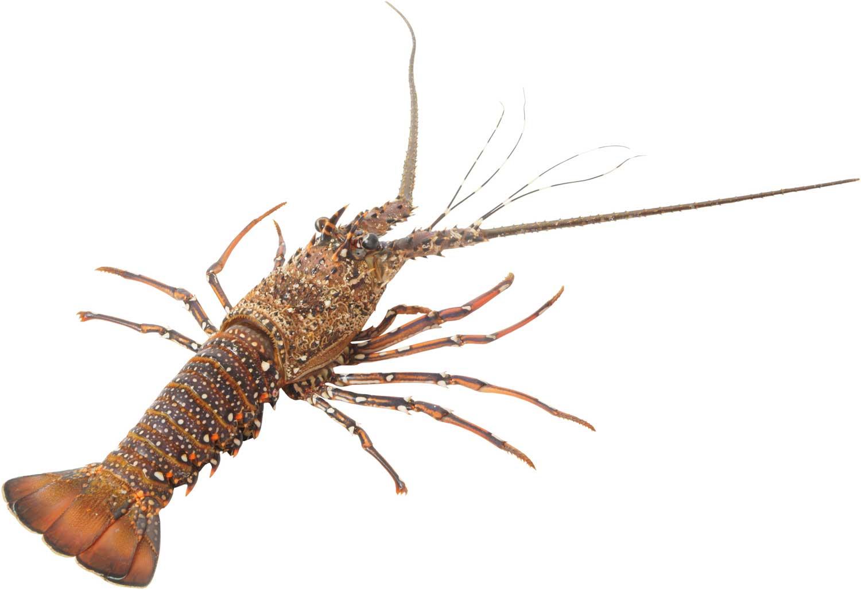 St Paul Lobster