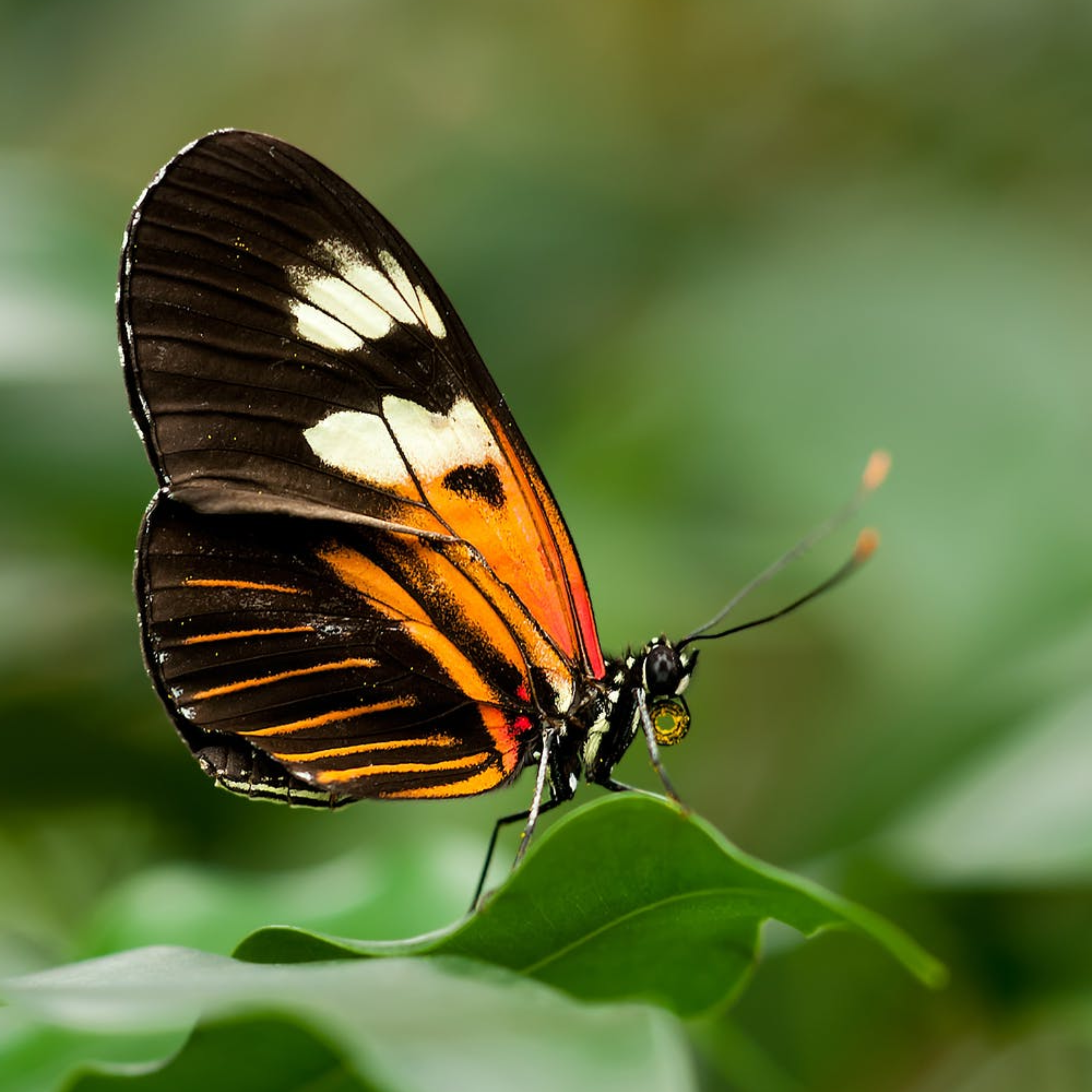 Large butterfly sitting on a leaf, very close up.