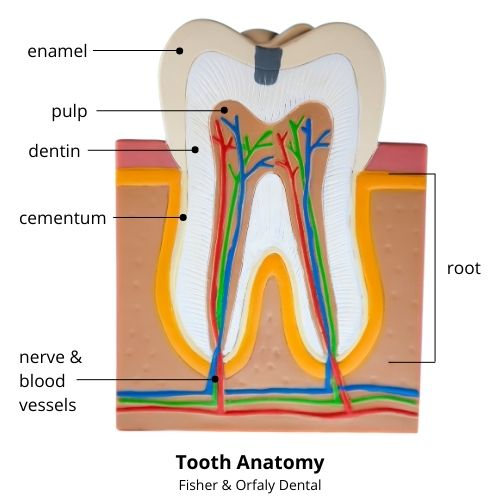Root-canal-tooth-anatomy
