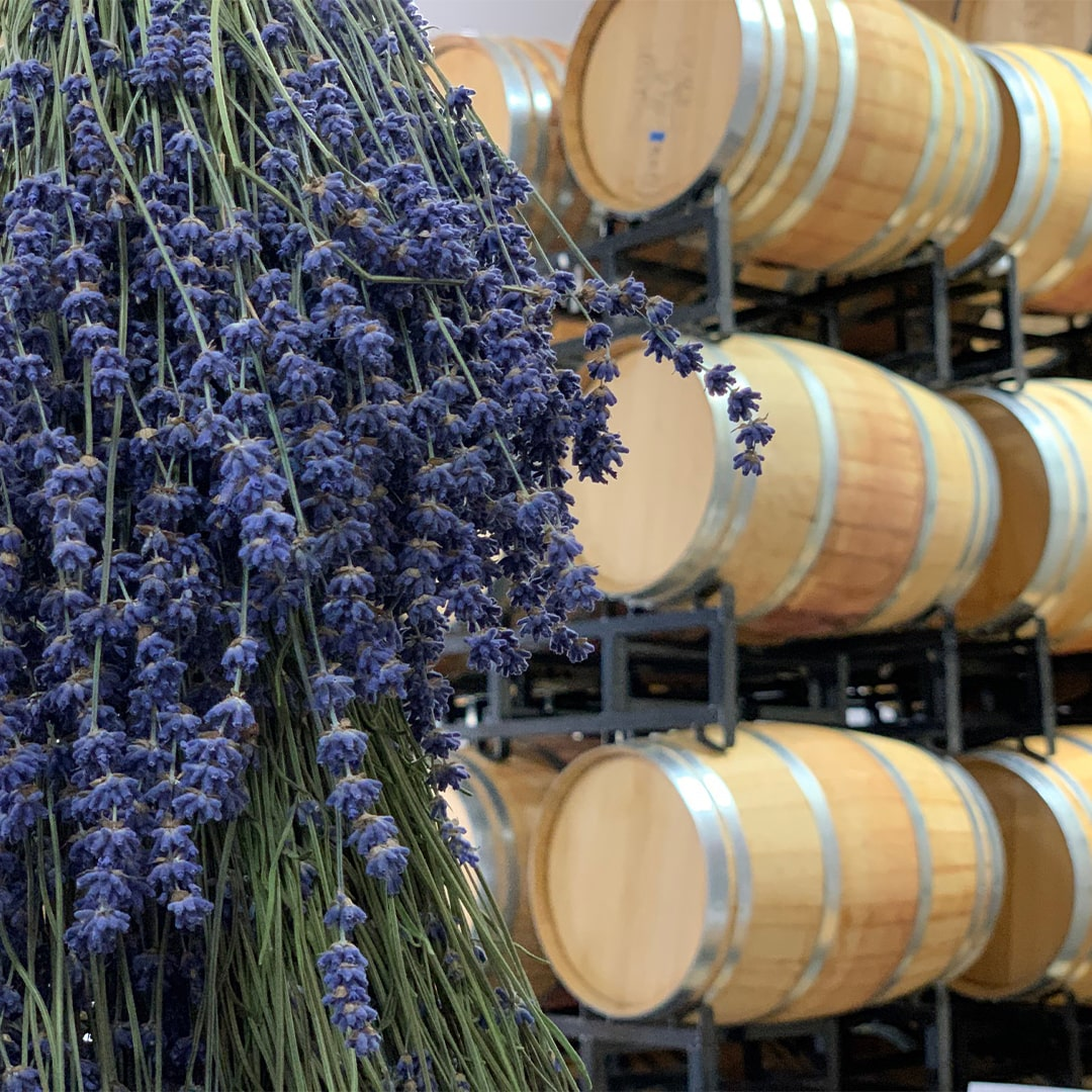 Lavender drying in front of wine barrels