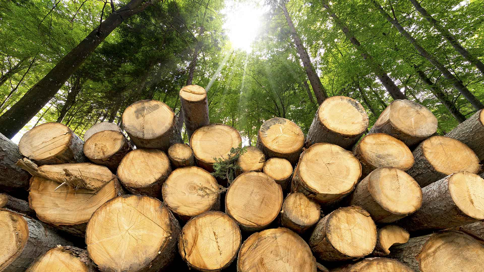 Freshly cut wood logs in a sunny forest clearing